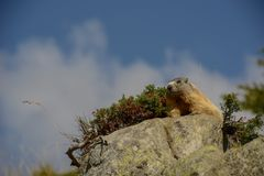 Groundhog on a Rock royalty free stock photos