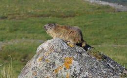 Groundhog salvaje Imágenes de archivo libres de regalías