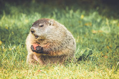 Groundhog sammanträde med munnen som är öppen med moroten i händer i tappningträdgårdinställning Arkivbild