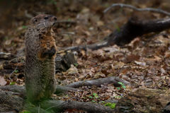Groundhog Scanning. The forrest floor royalty free stock photography