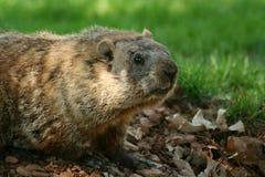 Groundhog schioccando dal suo foro fotografia stock