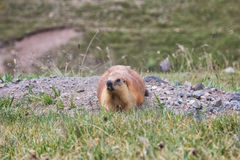 Groundhog siedzi na skałach Zdjęcia Royalty Free
