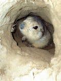 Groundhog waiting for spring, Baikonur, Kazakhstan. Groundhog sits in the depths of his mink stock image
