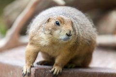 Groundhog sits on ground and looks to the side. A groundhog sits on ground and looks to the side stock photo