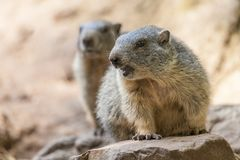 Groundhog sits on ground and looks to the side Royalty Free Stock Photography