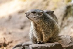 Groundhog sits on ground and looks to the side Stock Images
