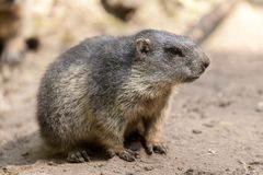 Groundhog sits on ground and looks to the side. A groundhog sits on ground and looks to the side royalty free stock photos