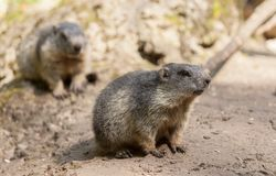 Groundhog sits on ground and looks to the side. A groundhog sits on ground and looks to the side royalty free stock photo