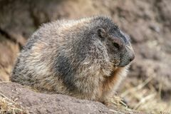 Groundhog sits on ground and looks to the side Stock Photography