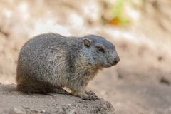 Groundhog sits on ground and looks to the side Royalty Free Stock Photos