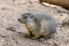 Groundhog sits on ground and looks to the side Royalty Free Stock Image