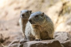 Groundhog sits on ground and looks to the side Royalty Free Stock Images