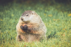 Groundhog sitting and eating carrot in vintage garden setting Royalty Free Stock Image