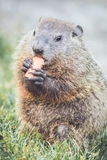 Groundhog sitting in grass with carrot portrait Stock Photo