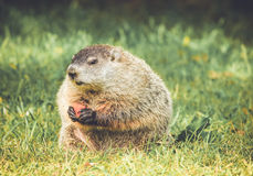 Groundhog sitting with head down slightly and eating carrot in vintage garden setting Royalty Free Stock Photo