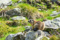 Groundhog on a rock. Groundhog sitting on a rock watching stock photography