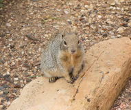 A groundhog sitting on a rock. Wildlife as seen at the grand canyon in the summertime stock photo