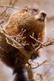 Groundhog sitting on a small branch. A large groundhog balancing on a thin branch Stock Image