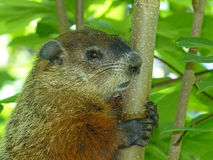Groundhog Sitting In A Tree Royalty Free Stock Image