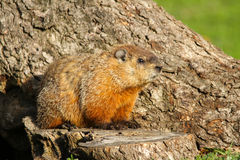 Groundhog Sitting on Tree Stump Royalty Free Stock Image