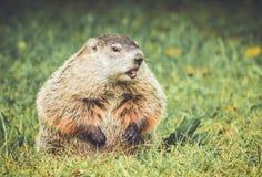 Groundhog som ser höger med munnen som är öppen i tappningträdgårdinställning Arkivbild