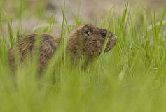 Groundhog in spring Royalty Free Stock Photography