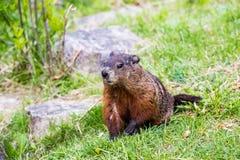Groundhog - Spring day in Edward Garden. Groundhog, Botanical/Edward Gardens - Spring stock images