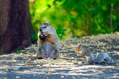 Groundhog & Squirrel Have Lunch Royalty Free Stock Photography
