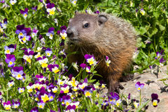 Groundhog standing in flowers. During springtime royalty free stock photography