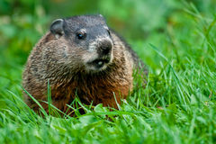 Groundhog - Marmota monax. Groundhog standing in the grass looking to right. Also known as a Wood Chuck. Edwards Gardens, Toronto, Ontario, Canada Royalty Free Stock Photo