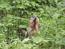 Groundhog standing with grass in open mouth stock image