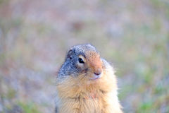 Groundhog. Standing on hind legs royalty free stock image