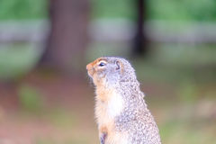 Groundhog. Standing on hind legs royalty free stock photo