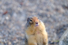 Groundhog Royalty Free Stock Image