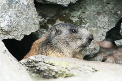 Groundhog standing next to his burrow on rock. Horizontal stock photos