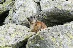 Groundhog standing next to his burrow on rock Royalty Free Stock Photos