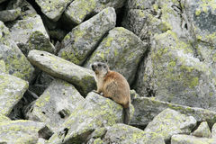 Groundhog standing next to his burrow on rock. Horizontal stock image