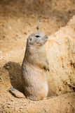 Groundhog is standing by the pit and watching surroundings Royalty Free Stock Image
