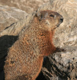 Groundhog Standing on Rocks Royalty Free Stock Photo