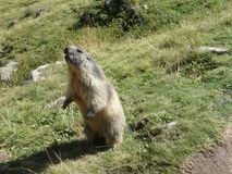 A groundhog standing up in the Alps. A groundhog standing up to scare away the intruders in the Alps Stock Photography
