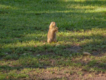 Prairie dog. A prairie dog stands in a field eating. Image taken on July 31, 2015 royalty free stock photo