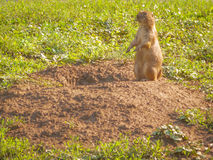 Prairie dog. A prairie dog stands next to its hole. Image taken on July 31, 2015 stock photo