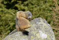 Groundhog on a Stone cleaning his fur. Groundhog in a funny position cleaning his fur royalty free stock photos