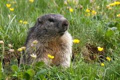 Groundhog su un prato Fotografia Stock Libera da Diritti