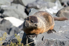Groundhog sun bathing over a rock at summer. Groundhog animal sun bathing  on a rock at summer Royalty Free Stock Photo