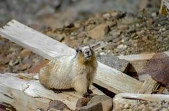 Groundhog sur le mien en Alaska - 1 Image libre de droits