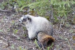 Groundhog. In the Takakkaw Falls Area, Yoho National Park, Alberta, Canada royalty free stock image
