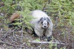 Groundhog. In the Takakkaw Falls Area, Yoho National Park, Alberta, Canada royalty free stock photo