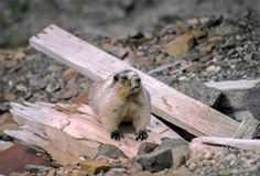Groundhog on top of mine in Alaska - 2 Royalty Free Stock Images