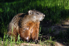 A groundhog Toronto Ontario. Canada royalty free stock photo